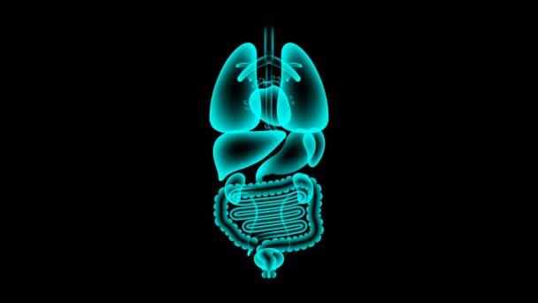 Sada lidské mužských orgánů rentgenové, srdce infekce koncept idea červené barvy obrázku izolované žár v tmavém pozadí, bezešvé, opakování animace 4k s kopií prostor