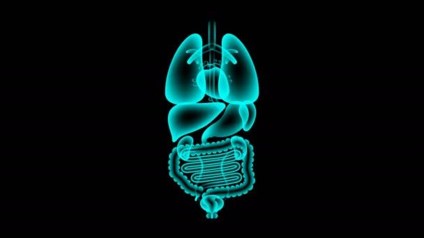 Lidské mužských orgánů rentgenové sady, tenké střevo infekce koncept idea červené barvy obrázku, samostatný záře v tmavém pozadí, bezešvé, opakování animace 4k s kopií prostor