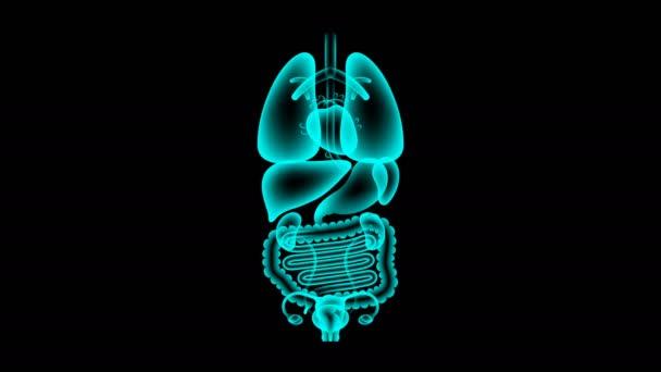 Lidské ženské orgány rentgenové sady, tenké střevo infekce koncept idea červené barvy obrázku, samostatný záře v tmavém pozadí, bezešvé, opakování animace 4k s kopií prostor