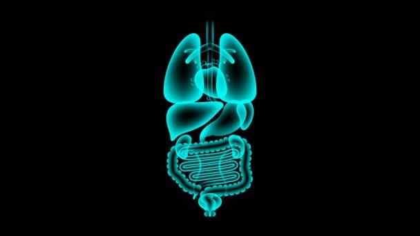 Sada lidské mužských orgánů rentgenové, slezina infekce koncept idea červené barvy obrázku izolovaných záře v tmavém pozadí, bezešvé, opakování animace 4k s kopií prostor