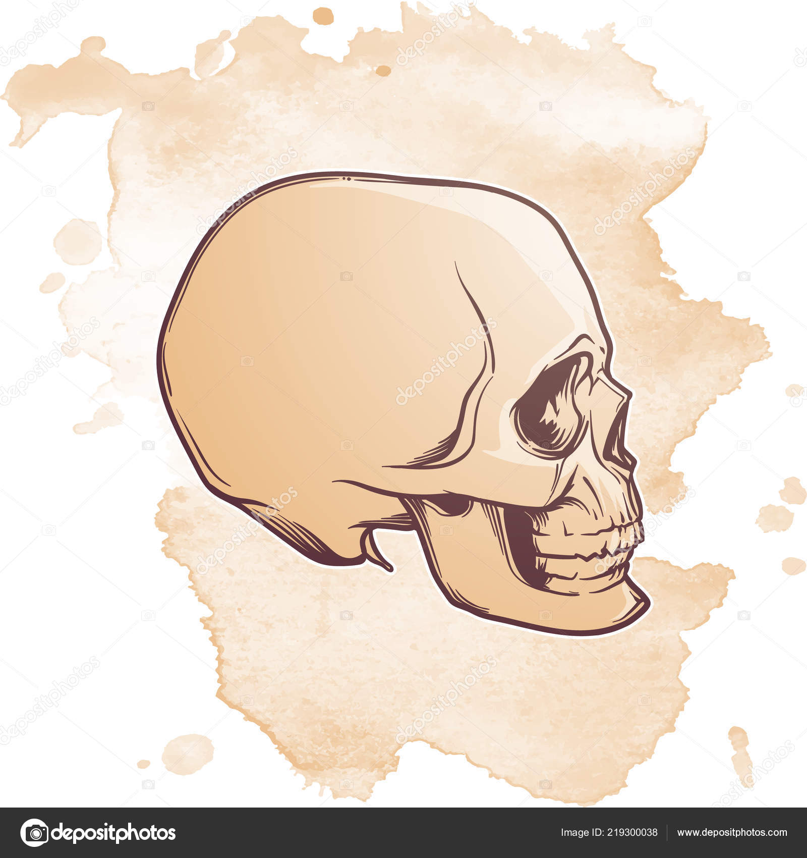 9a824a958d5 Human Skull hand drawing. Side angle. Linear drawing painted in 3 shades
