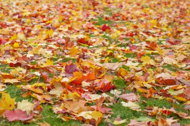 Carpet of bright maple leaves on the green grass