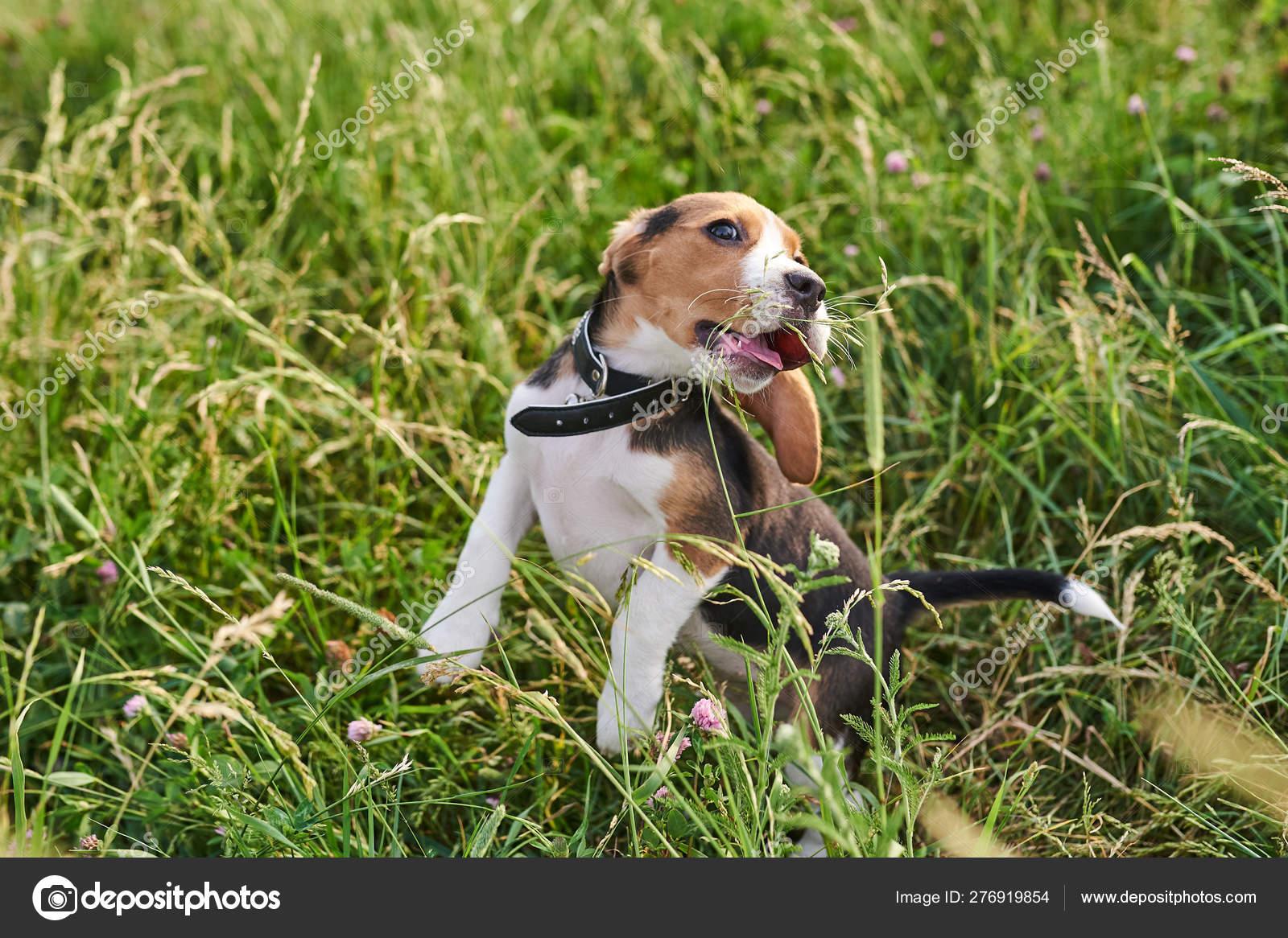 Beagle Puppy Funny Bounces In The Grass Stock Photo C Archangel80889 Yandex Ru 276919854