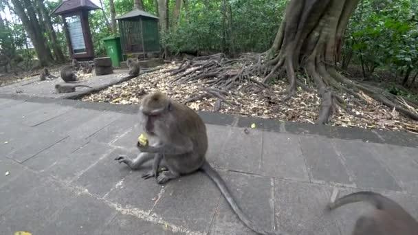 Ubud majom erdő, sok majom, Indonézia