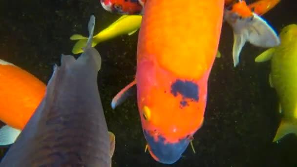 Koi, barevný kapr, plave v rybníku, 4k video