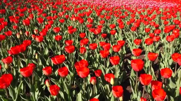 Krásný květinkové lůžko s červenými tulipány, Holandsko