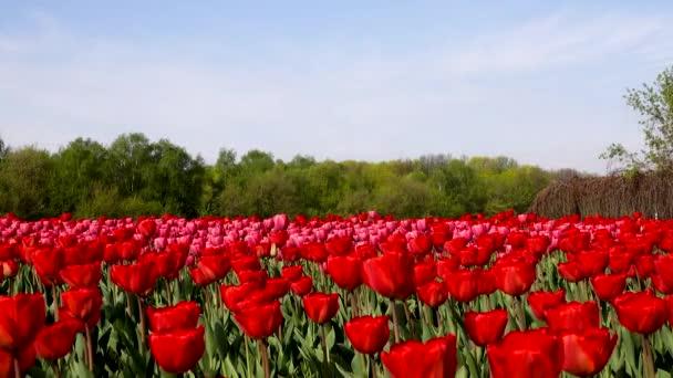 Gyönyörű virágágyások piros Tulipánokkal, Hollandia