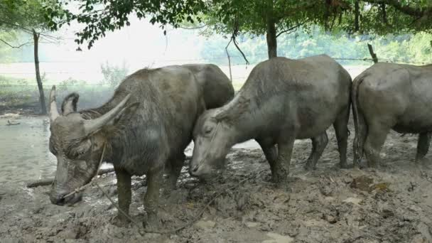 buffaloes standing on the mud in the stall. buffalo always to sleep in the mud pool
