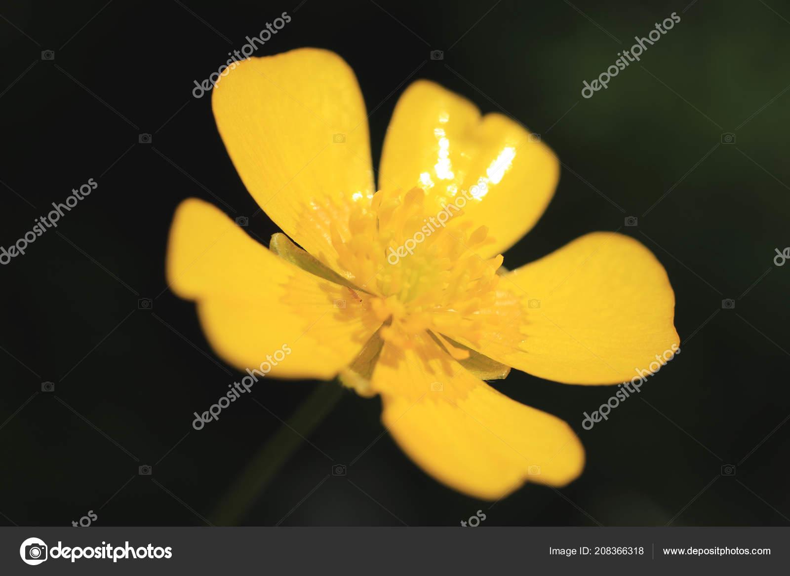 Yellow Flower Bud Five Petals Summer Outdoor Background Stock