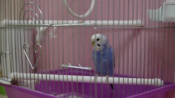 Papoušek v kleci. Full Hd