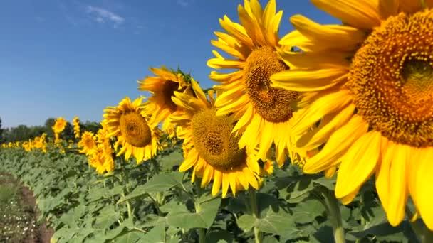 Slunečnicový přirozeného pozadí. Kvetoucí slunečnice