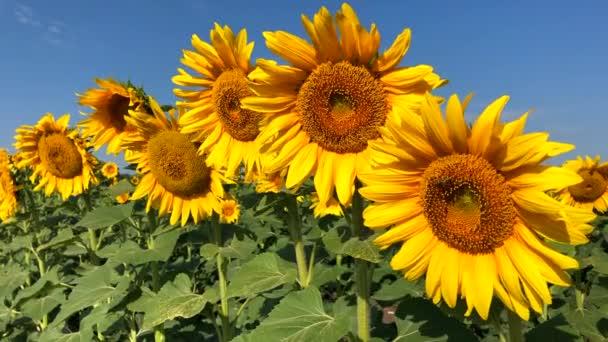 Slunečnicový přirozeného pozadí. Kvetoucí slunečnice. Detail slunečnice.