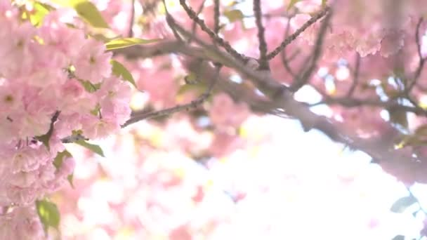 4K Pink Cherry Flowers Blooming In Springtime