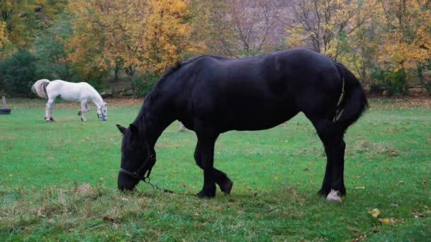 Pomalý pohyb bílý a černý kůň pastvy v zelené pastvině