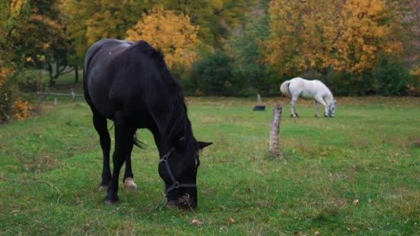 Slow Motion Zwei Pferde grasen auf dem Feld