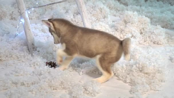 Aranyos szibériai husky kutyus játszik lassú mozgás.