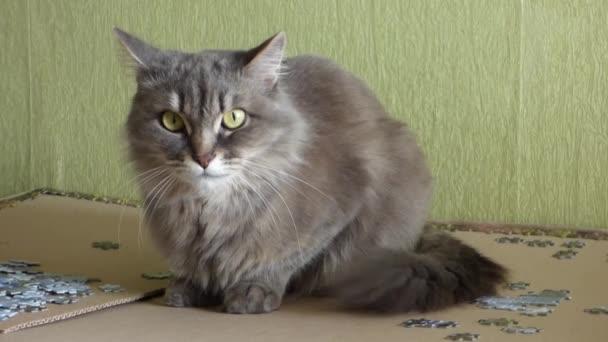Šedá sibiřská kočka sedí mezi puzzle fragmenty a bedlivě se na kameru. Nadýchané pet pohybující se uši, nervózně vrtí ocasem a mhouřit oči.
