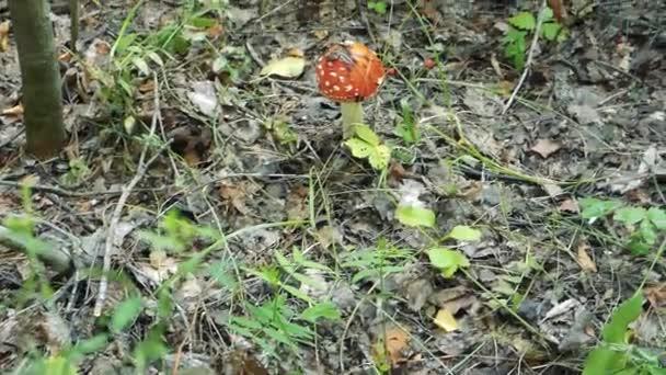 Zářivě červená muchomůrka mezi spadané listí a trávy. Podzimní den v lese. Posunout pohled, jedovaté houby