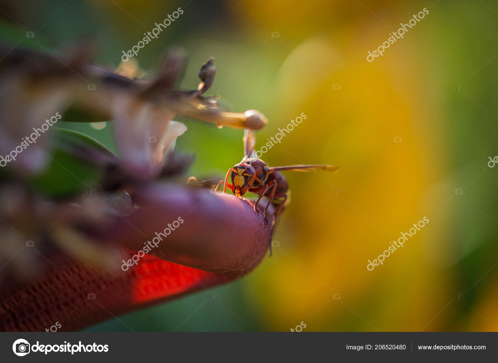 Dangerous Hornet Climbs Banana Tree Greece Dangerous Hornet