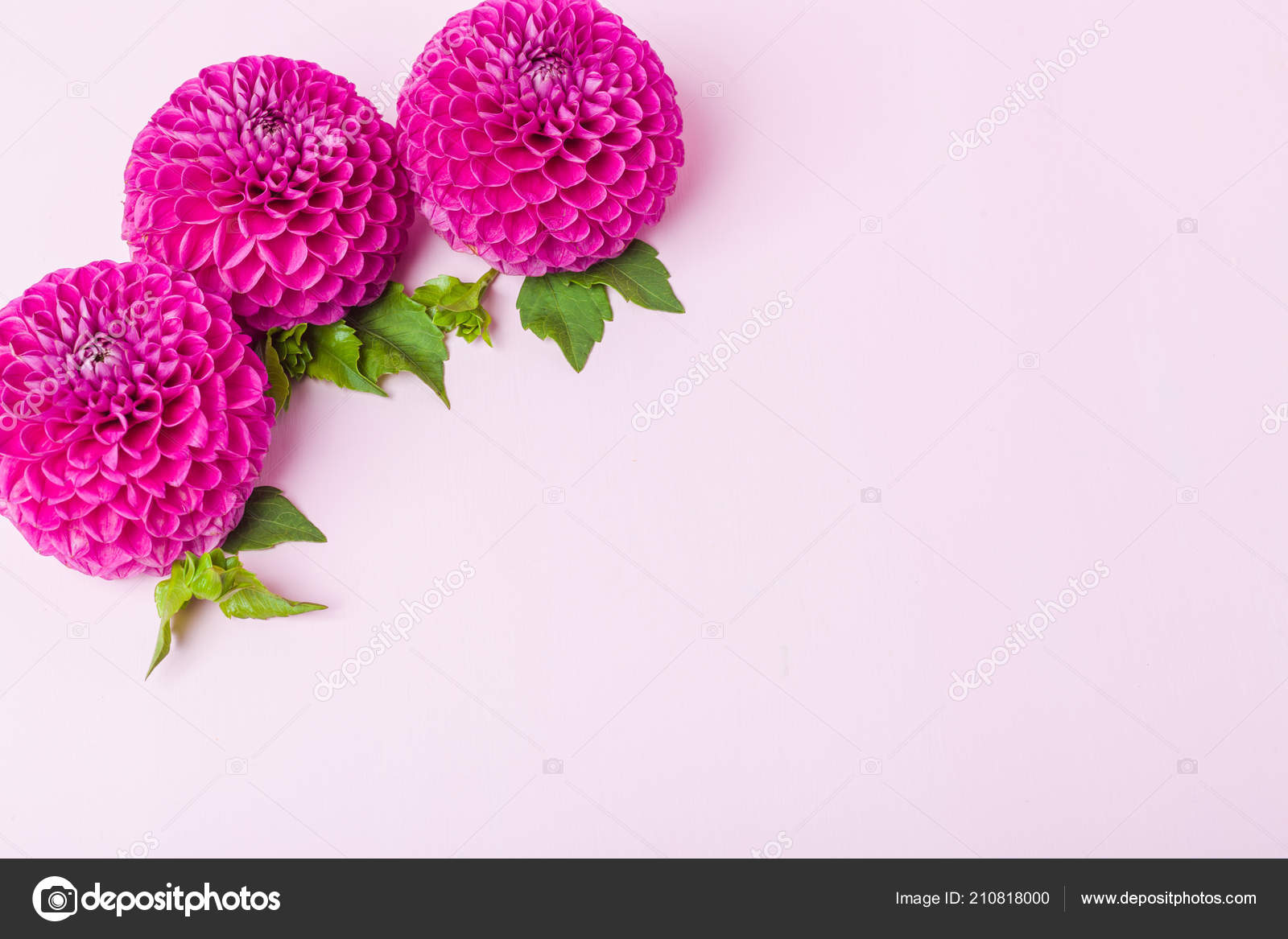 Dahlia ball barbarry flowers green leaves buds top view pink stock dahlia ball barbarry flowers green leaves buds top view pink stock photo izmirmasajfo
