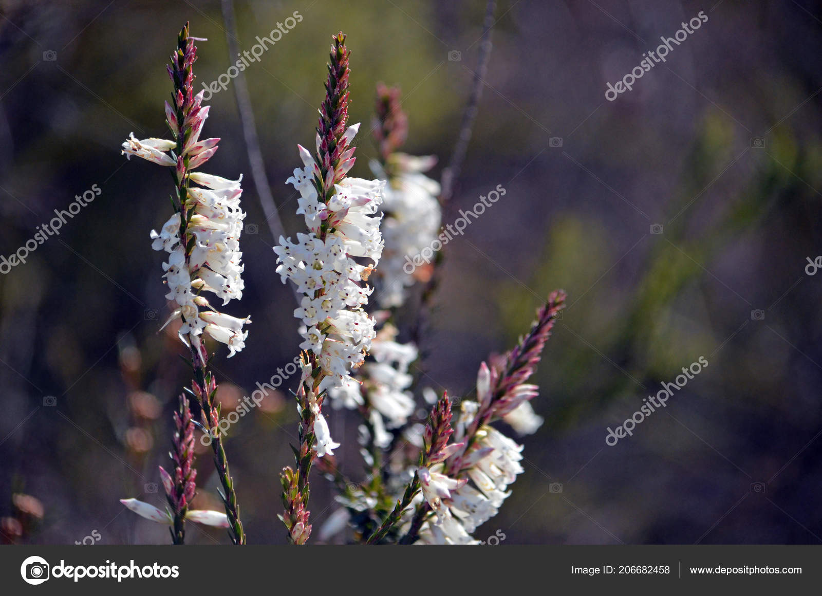 White Bell Shaped Flowers Australian Native Blunt Leaf Heath Epacris