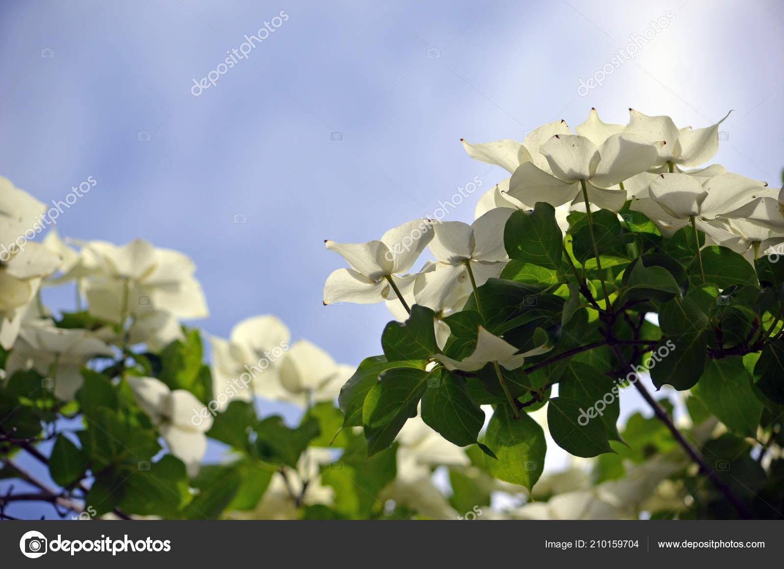 Sunlight Shining White Dogwood Tree Flowers Cornus Florida Fresh