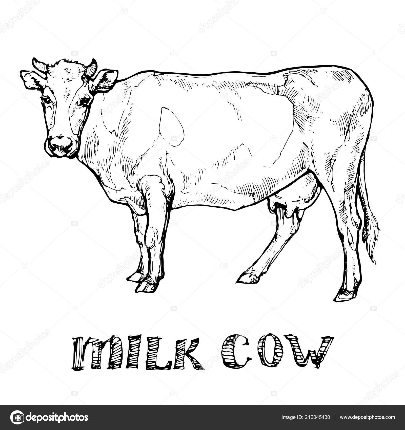 Milk Cow Farm Animal Ink Sketch Hand Drawn Line Art — Stock