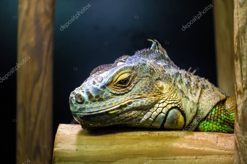 Close-up Head of Green Iguana
