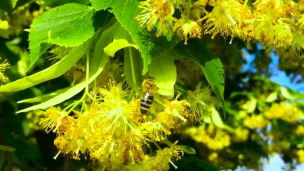 Včelí med v lipové květy, API Carnica