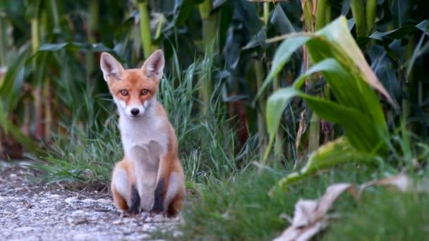 Mladá, malá juvenilní Liška na štěrkové cestě na okraji kukuřičné pole