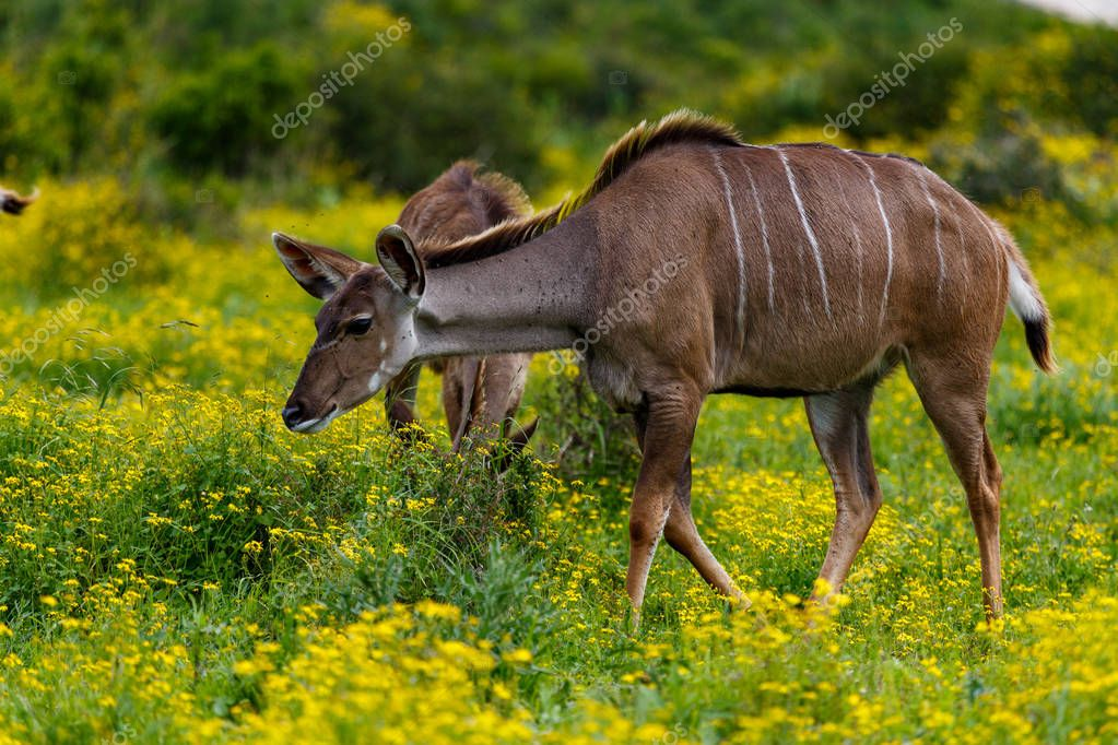 Female kudu walking in the field full of daisies
