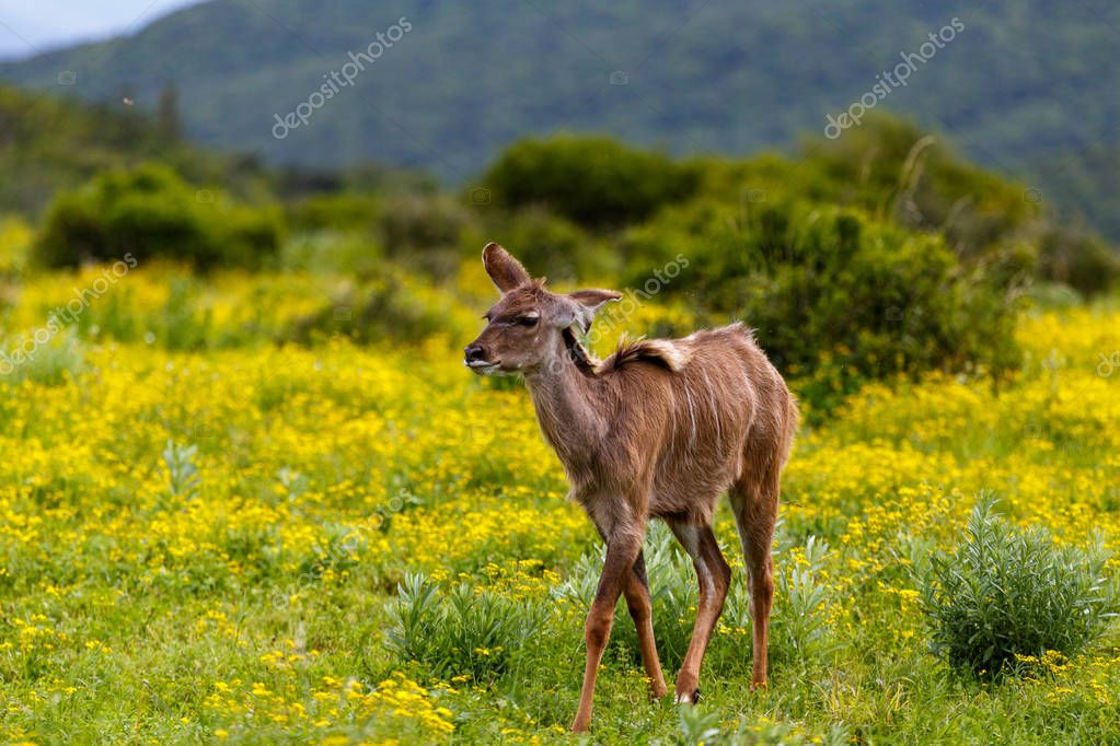 Baby Female kudu walking between the daisy flowers in the field