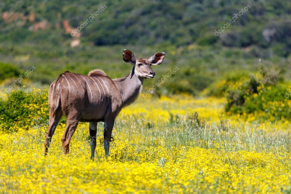 Female Kudu standing in the beautiful yellow flower field