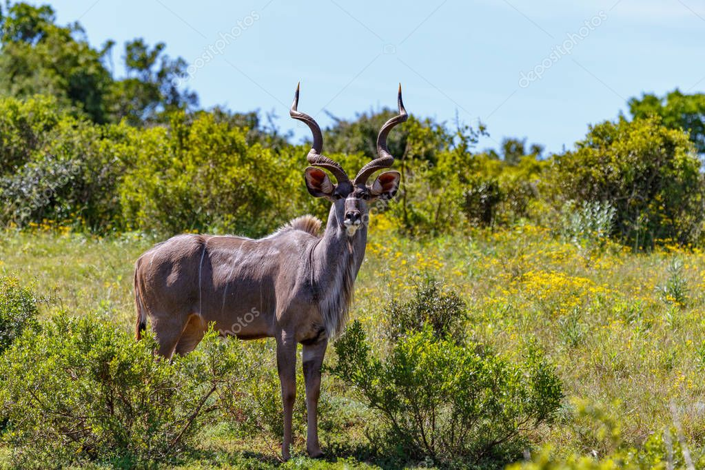 Male Kudu standing glaring at you in the field