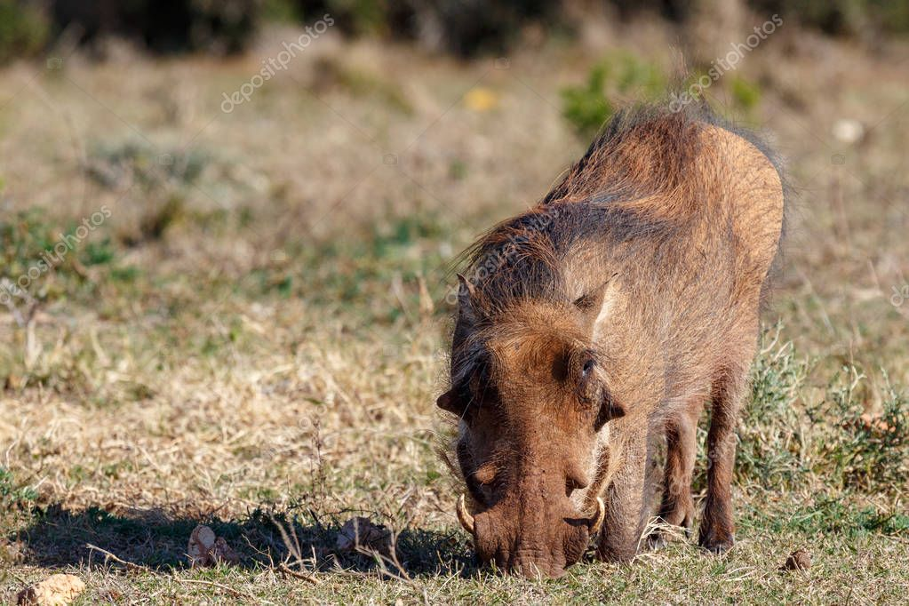 Warthog kneeling down to eat grass in the field