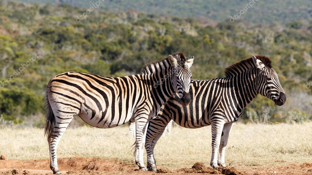 Two Zebras standing side by side waiting their turn at the watering hole