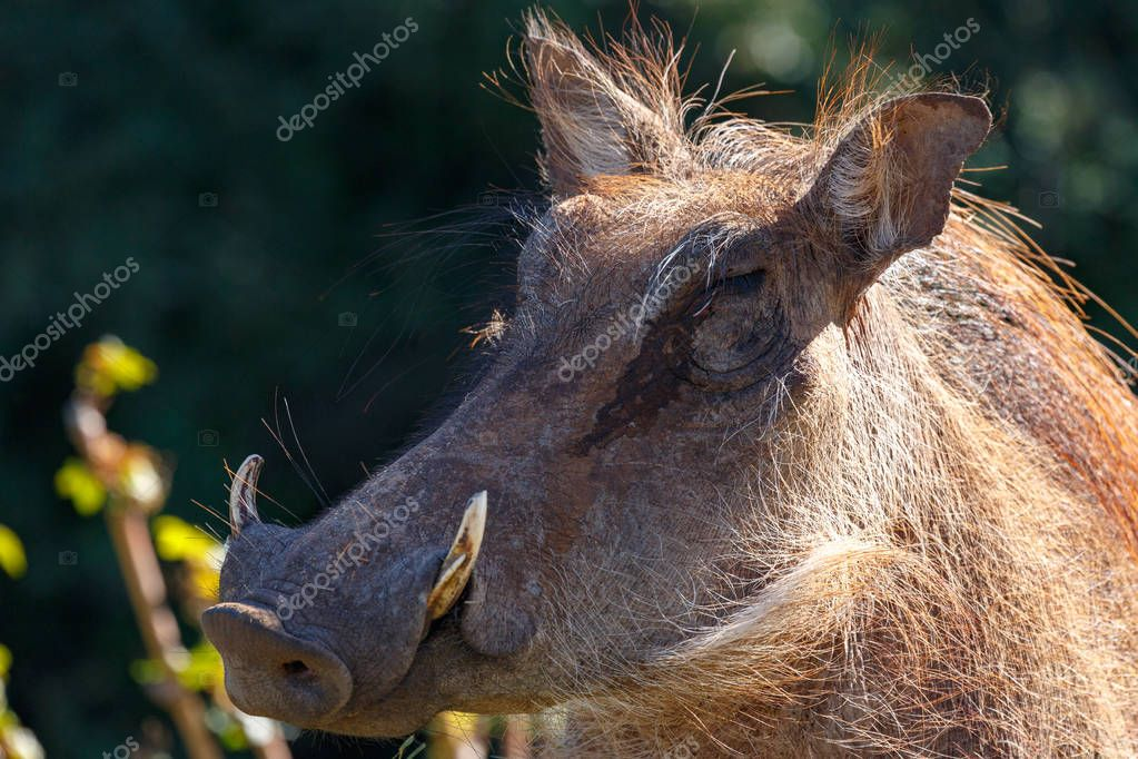 Close up of a warthog with his nose pointing to the side