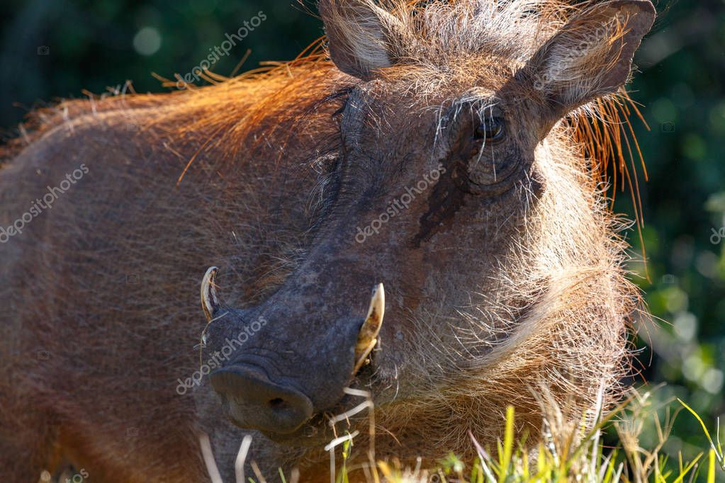Warthog standing sideways in the long grass in the field