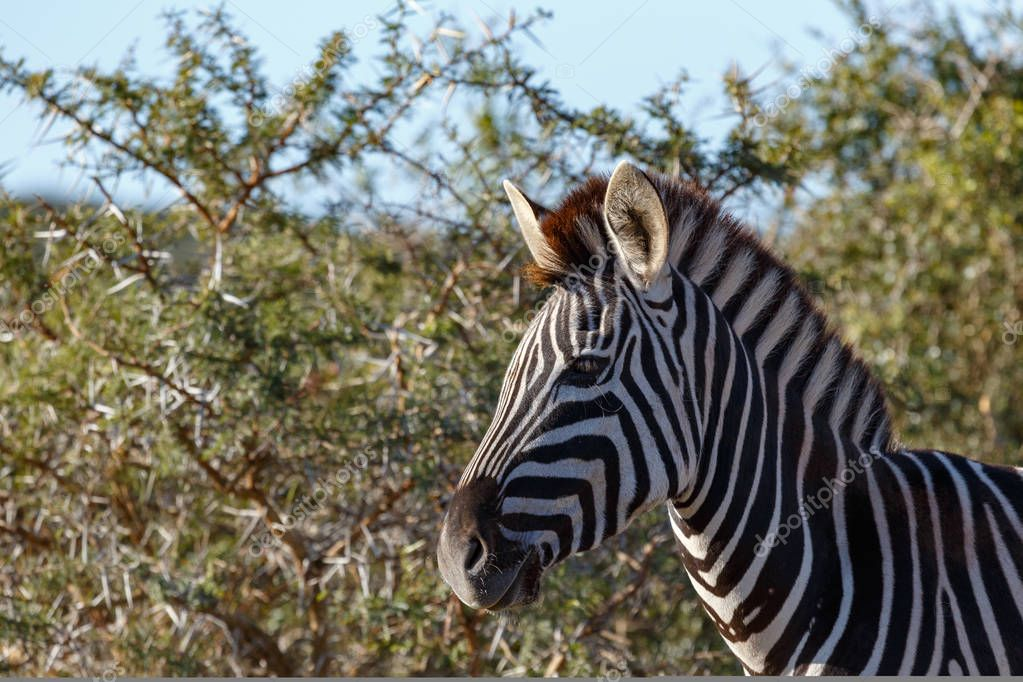 Zebra standing by the thorny bushes in the field