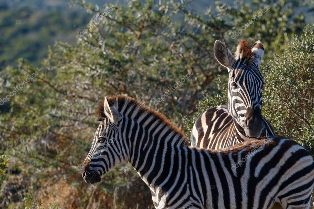 Zebras standing together by the thorny bushes in the field