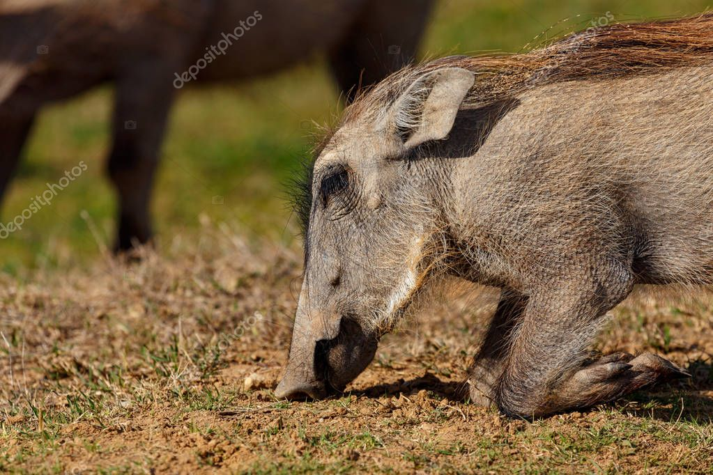 Warthog kneeling down on the ground to eat grass