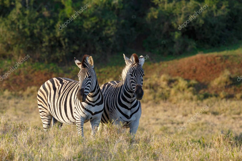 Zebras standing with their heads turned away from each other