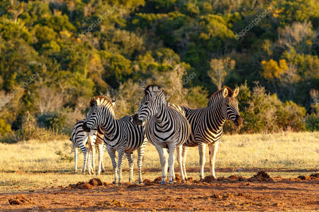 Three Zebras standing side by side protecting each other