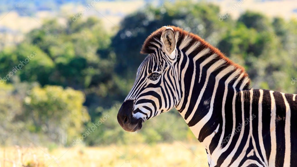 Zebra standing and posing in the field