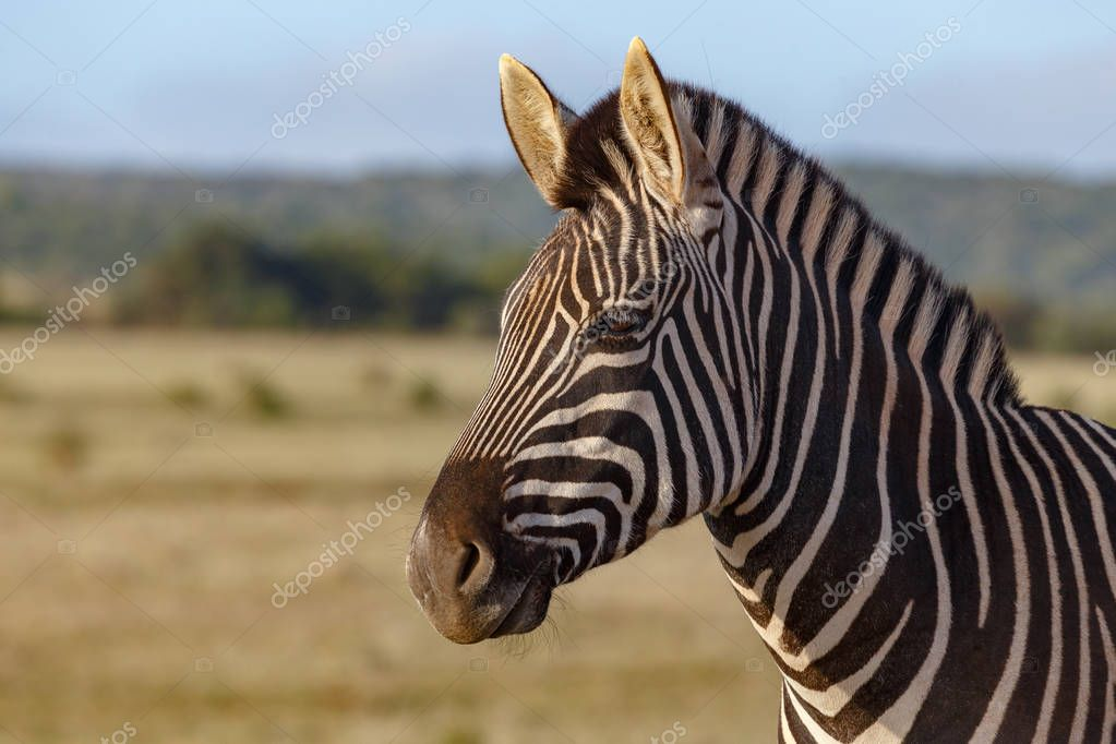 Zebra standing and thinking in the field