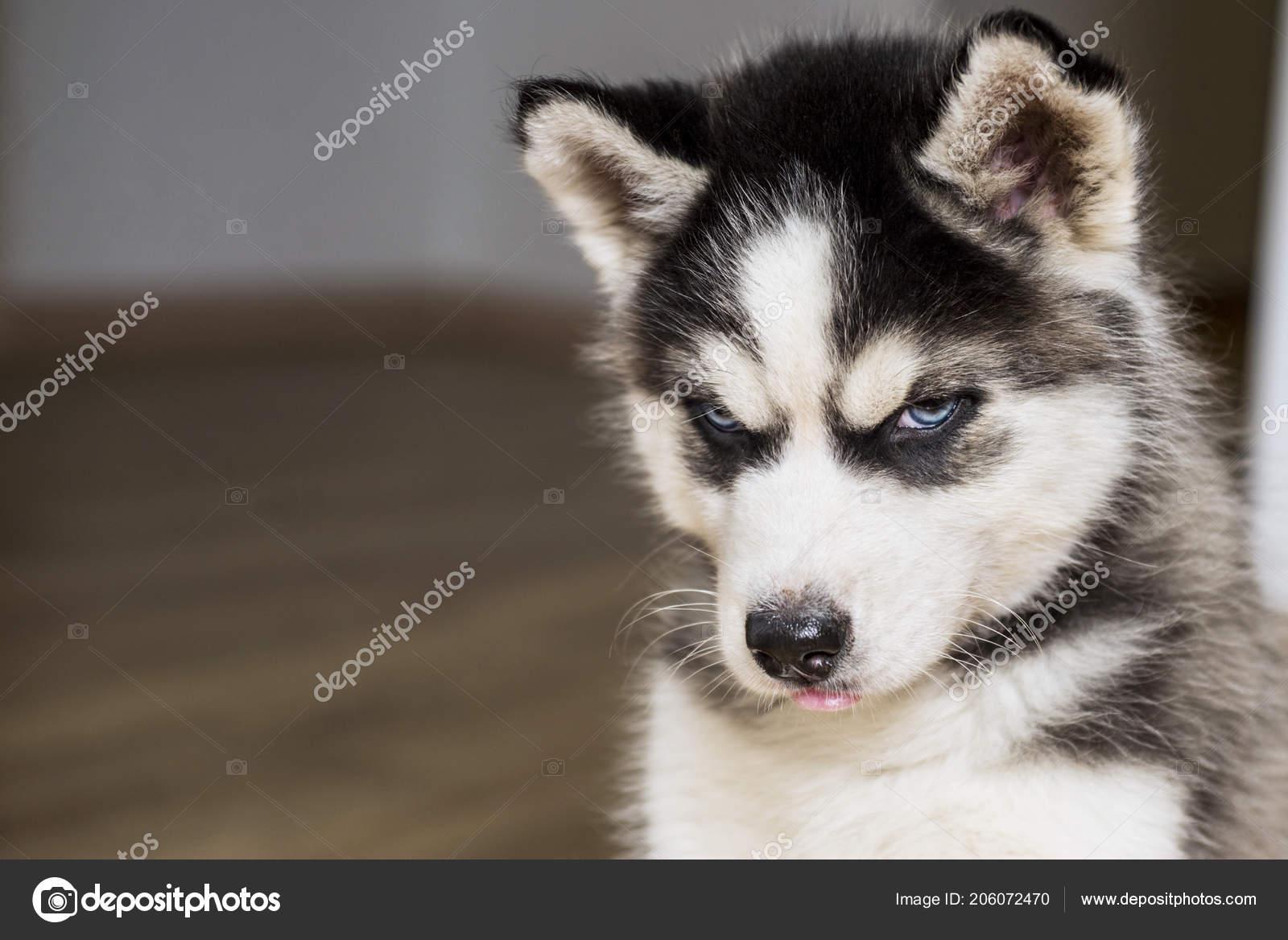 Cutest Husky Puppies For Sale Cute Little Siberian Husky Puppy Blue Eyed Siberian Husky Puppy Stock Photo C Spyrakot 206072470