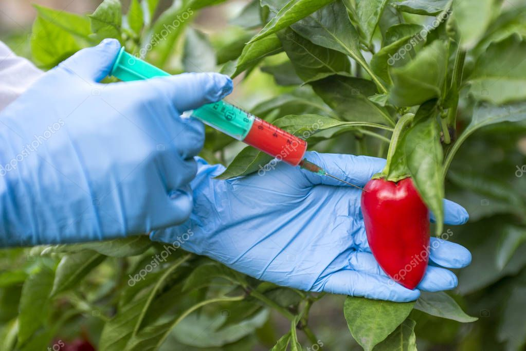 GMO and pesticide modification. Scientist in gloves injecting pepper with red fertilizer. GMO scientist injecting liquid from syringe into red pepper - genetically modified food concept