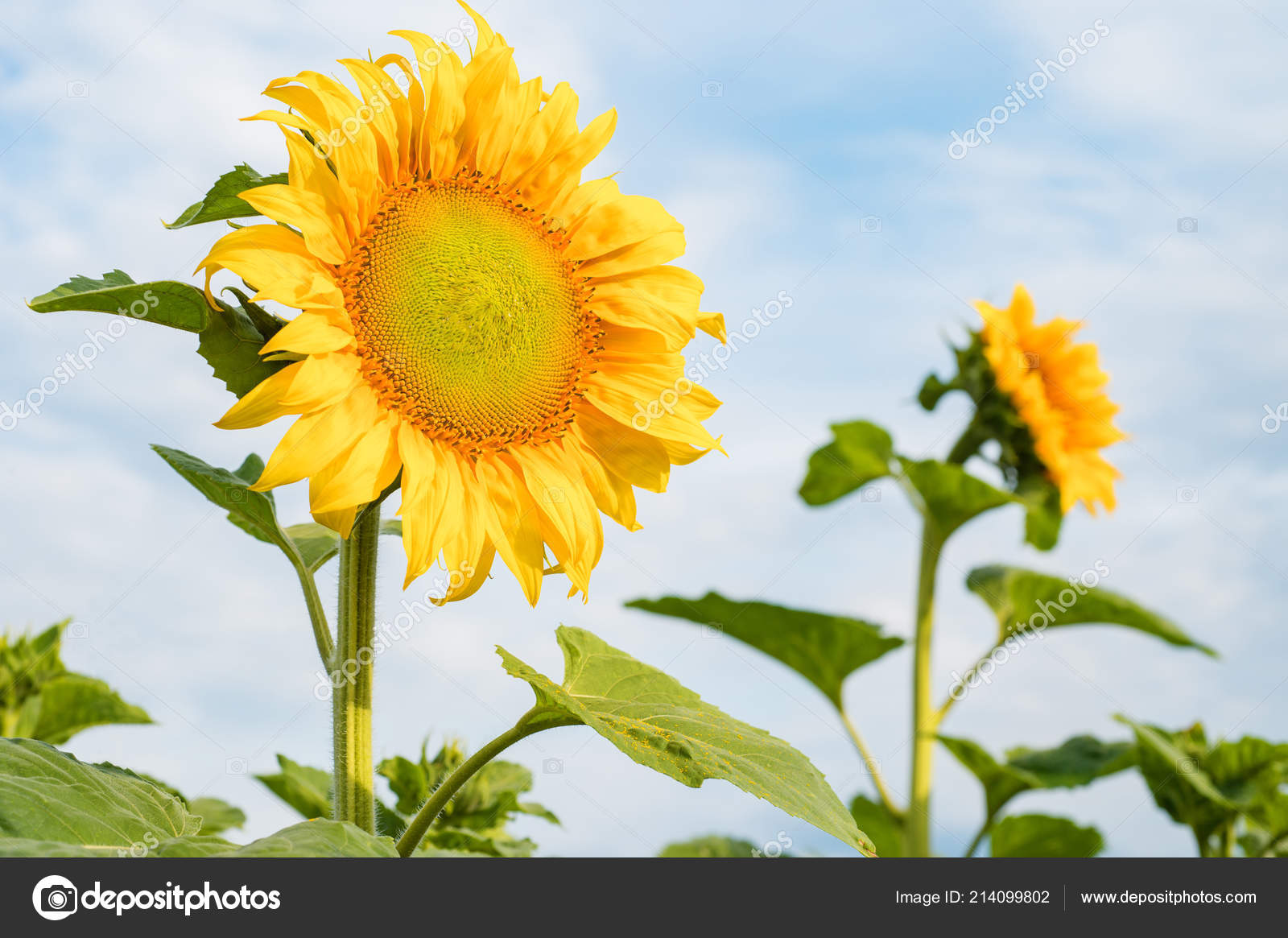 Fiore Girasole Fiori Campo Girasoli Una Giornata Sole Sfondo