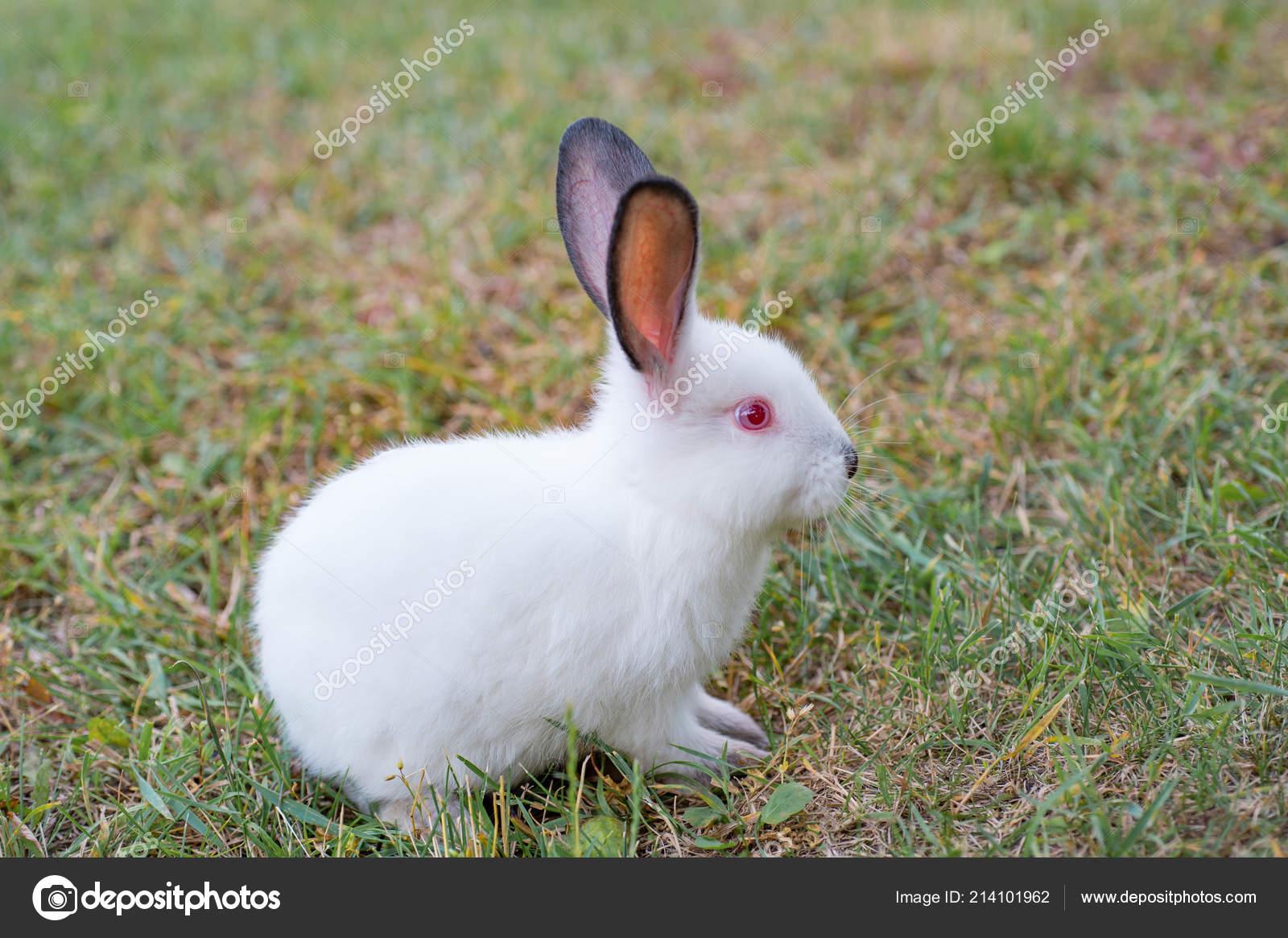 f6d168f90fae Μικροσκοπικό Χνουδωτό Λευκό Κουνέλι Κόκκινα Μάτια Συνεδρίαση Για ...