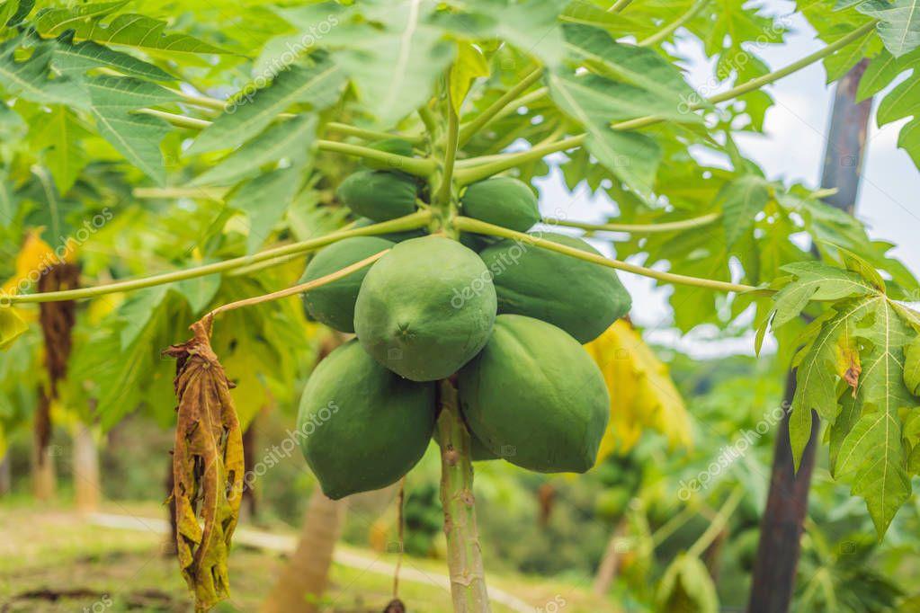Green papayas fruits growing on papaya tree